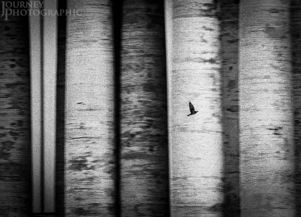 Black and white picture of birds in motion, St Peters Square, Rome, Italy