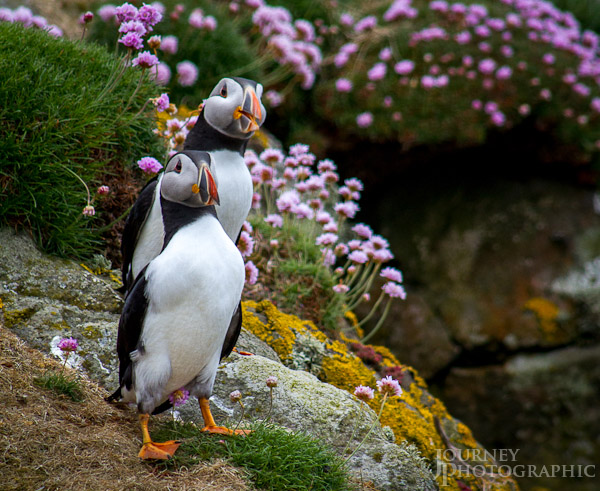 Picture of Puffins surrounded by flowers, Lunga, Treshnish Isles, Scotland