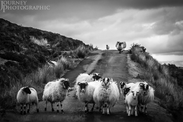 Black and white picture of sheep on road causing traffic jam, Scotland