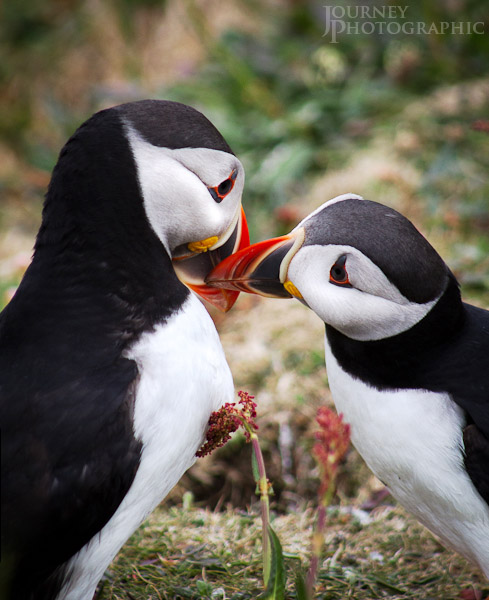 Picture of two puffins rubbing beaks together, Lunga, Scotland
