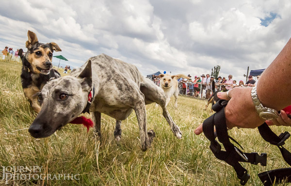 Picture of the Flat Chat Dog Race, Bungendore Show, Australia