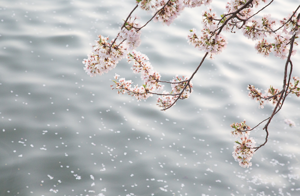 Cherry Blossoms over Water, Washington DC, USA