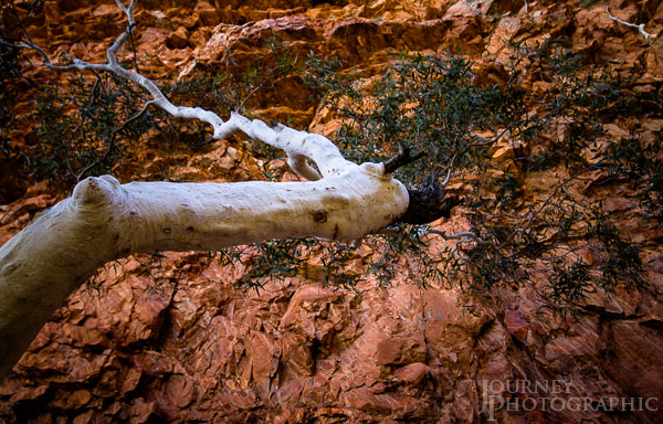 Ghost Gum, Central Australia