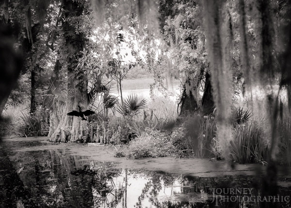 Black and white landscape picture of Anhinga (snake bird) stretching his wings in the swamp at Magnolia Plantation, Charleston, South Carolina