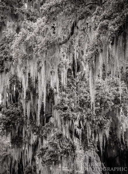Black and white landscape picture of Spanish Moss, Charleston, South Carolina