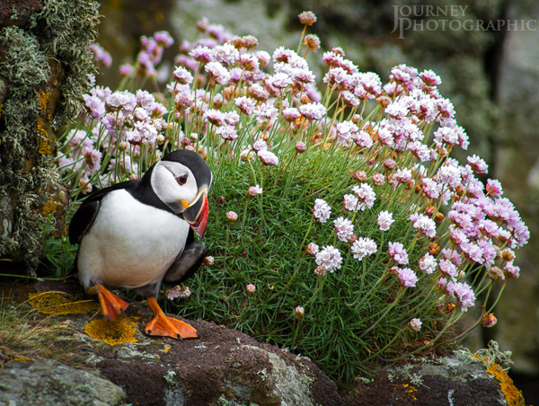Picture of stomping puffin with sea thrift flowers, lunga island, Scotland